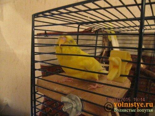 Нет лапки у волнистого попугая - ge.jpg