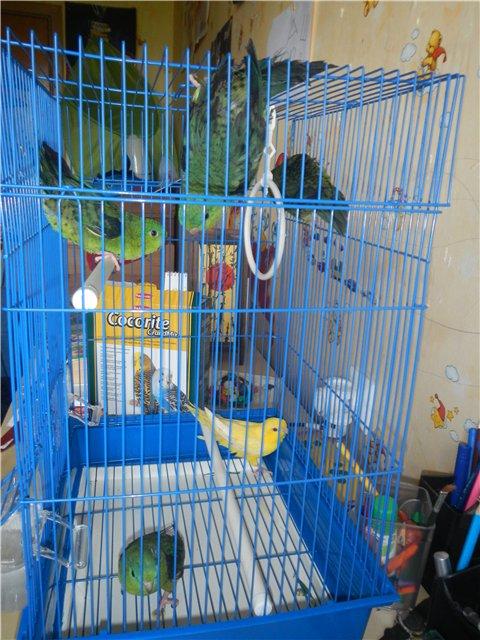 Волнистые попугайчики, пойманные на улице. - Попугайчики пойманные на улице.jpg