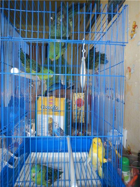 Волнистые попугайчики, найденные на улице. - Бродяжки.jpg