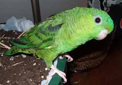 Род Толстоклювые ·попугаи - Bolborhynchus - Толстоклювый попугай3.jpg