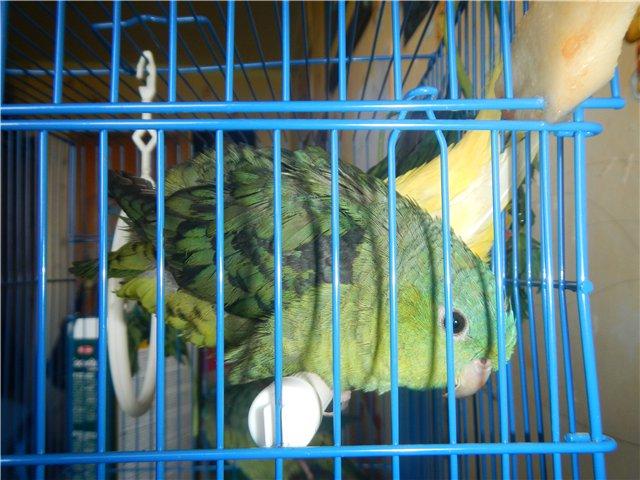 Предположительно толстоклювый попугай. - 1.jpg