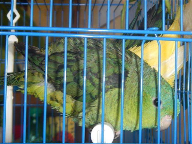 Предположительно толстоклювый попугай. - 2.jpg