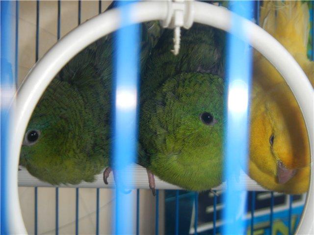 Предположительно толстоклювый попугай. - 3.jpg
