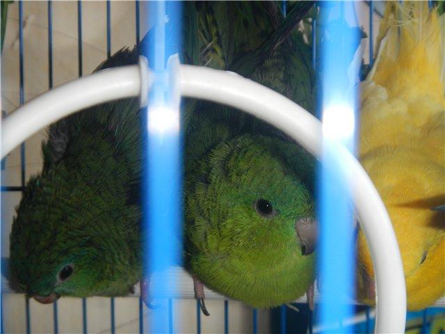 Предположительно толстоклювый попугай. - 4.jpg
