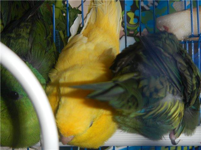 Предположительно толстоклювый попугай. - 5.jpg