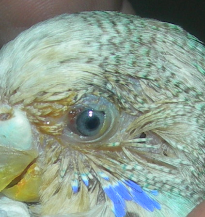 Повреждённый глаз волнистого попугая. - фото повреждённого глаза.jpg
