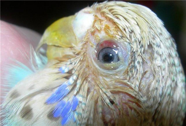 Волнистый попугай после операции по удалению третьего века. - Волнистый попугай без третьего века.jpg