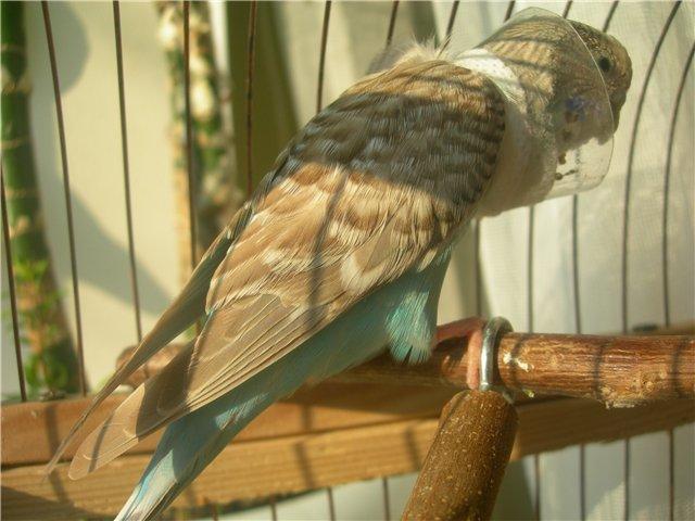 Волнистый попугай в ошейнике. - Птица в скафандре.jpg