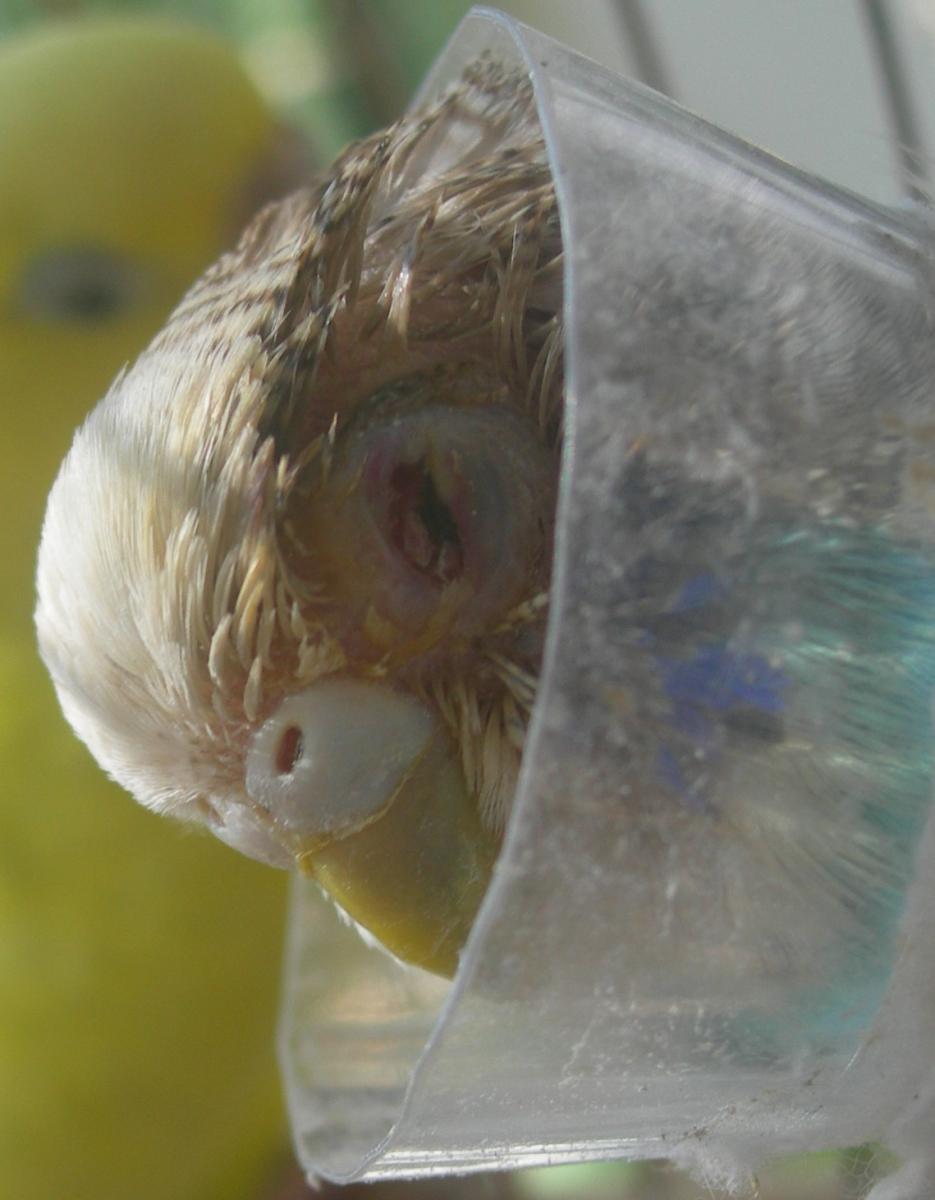 Попугай снова травмировал глаз. - 18 апр.JPG