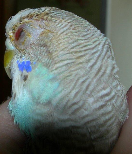 Волнистый попугай расчесал глаз. - чешет глаз.jpg