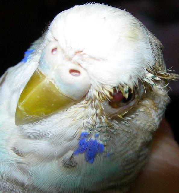 Волнистый попугай чешет глаз. - чешет глаз b.jpg