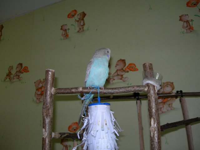 Волнистый попугай гуляет. - гуляет.jpg