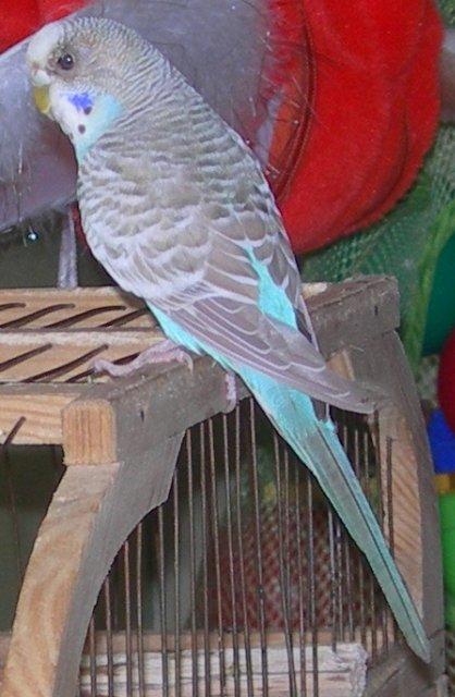 Волнистый попугай при лечении глаза идёт на поправку. - 10июля1.jpg