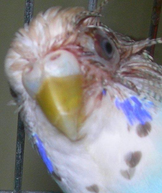 Снова попугай повредил глаз. - Рецедив.jpg