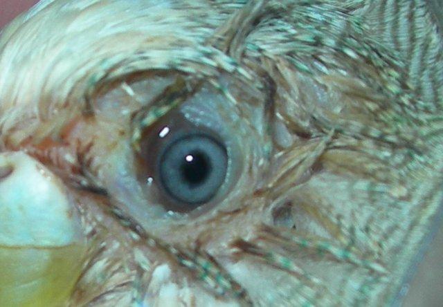 Самка волнистого попугая напала на травмированную птицу. - 1.jpg