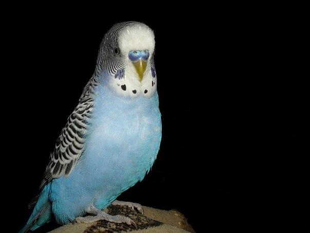 А это мой попугай Захар - x_f038ce9c.jpg