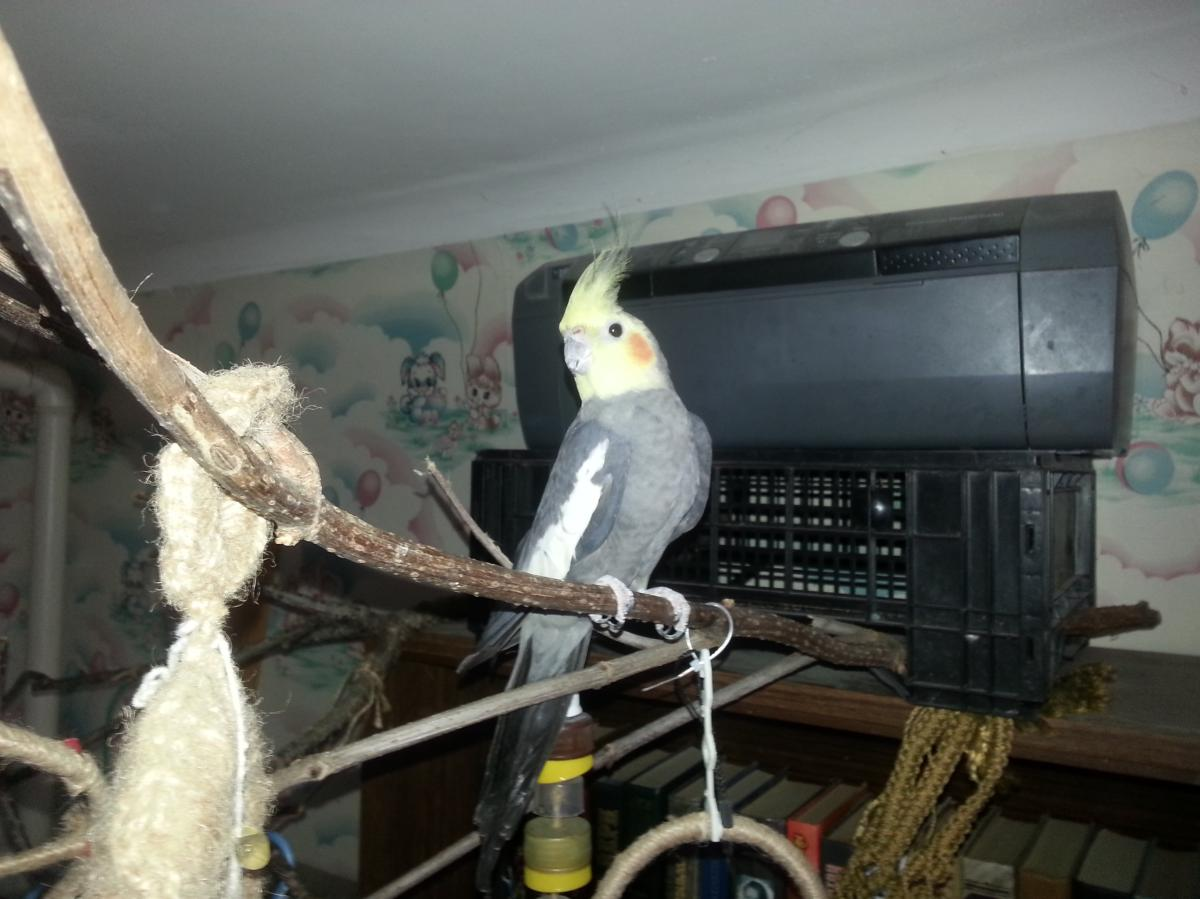 Попугай корелла - 20130612_151609.jpg