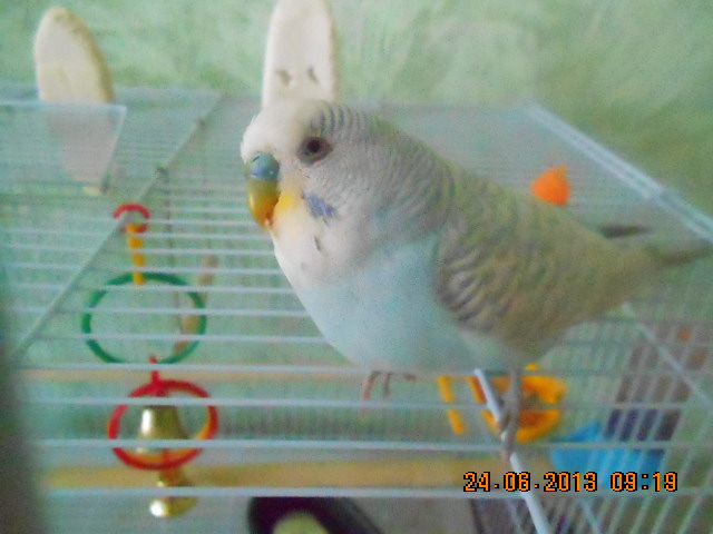 Это старшенький Петручелло.Живёт с нами 2 г 7 месяцев - DSCN0413[1].JPG
