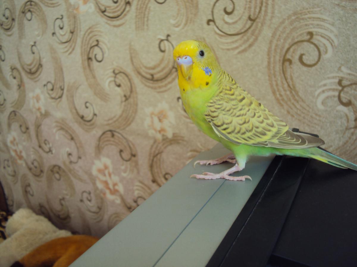 Волнистый попугайчик - DSC07471.JPG