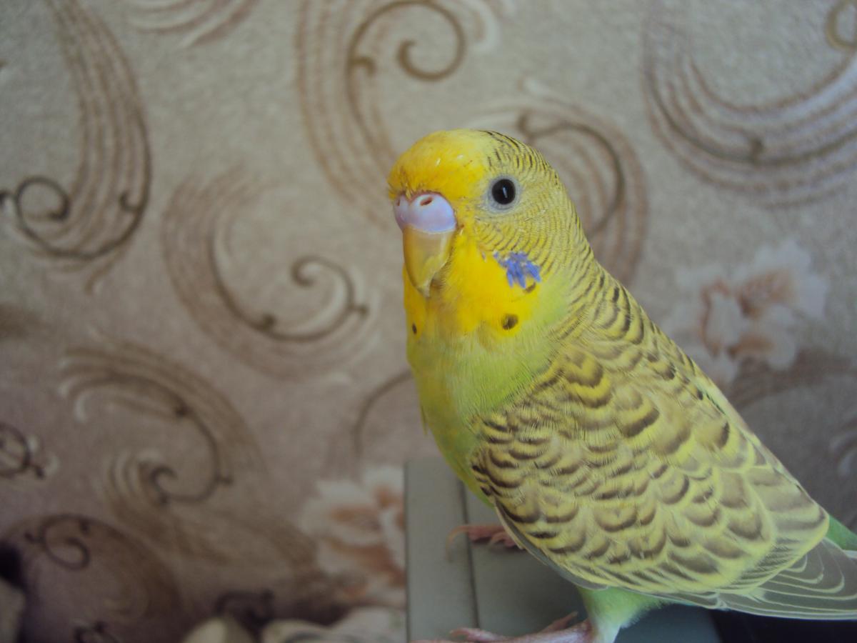 Волнистый попугайчик - DSC07475.JPG