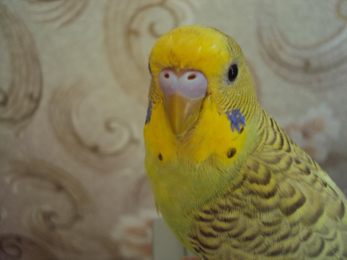 Волнистый попугайчик - DSC07477.JPG