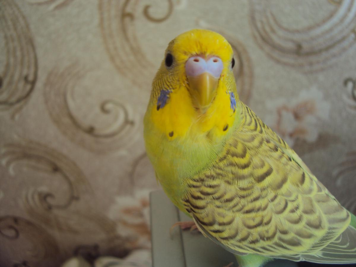 Волнистый попугайчик - DSC07476.JPG