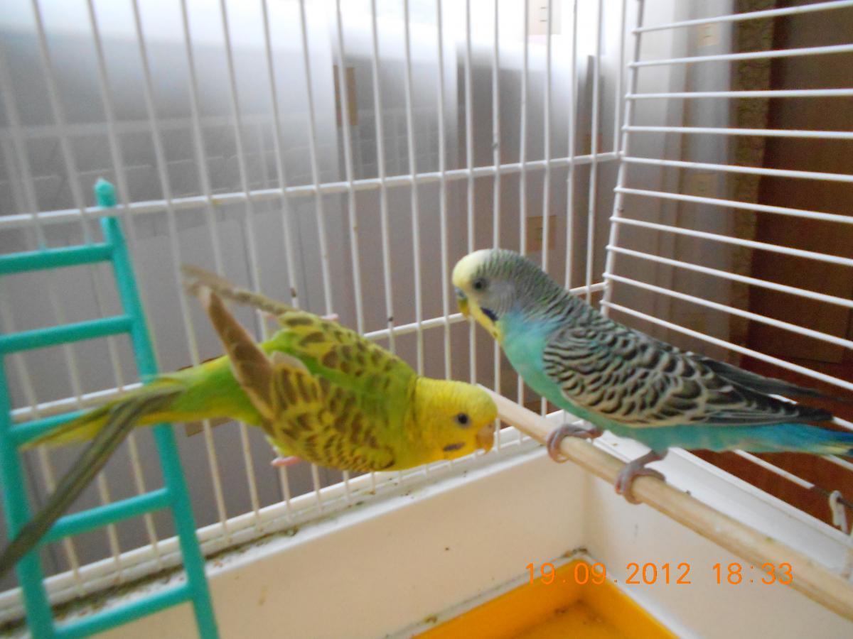 Помогите пожалуйста определить пол попугайчиков - DSCN0740.JPG