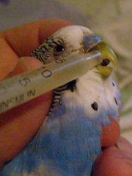 Кормление попугая - feeding a parrot.jpg