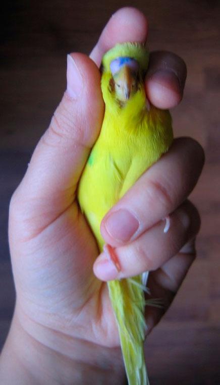 Фиксация попугая при кормлении - fixation-parrot-feeding.jpg