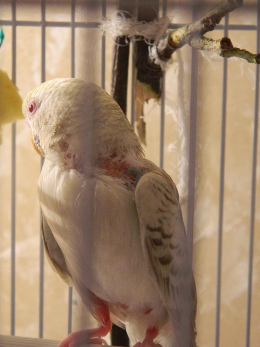 Полностью попугайчик, но плохо видно лысины. - DSCN3926.JPG