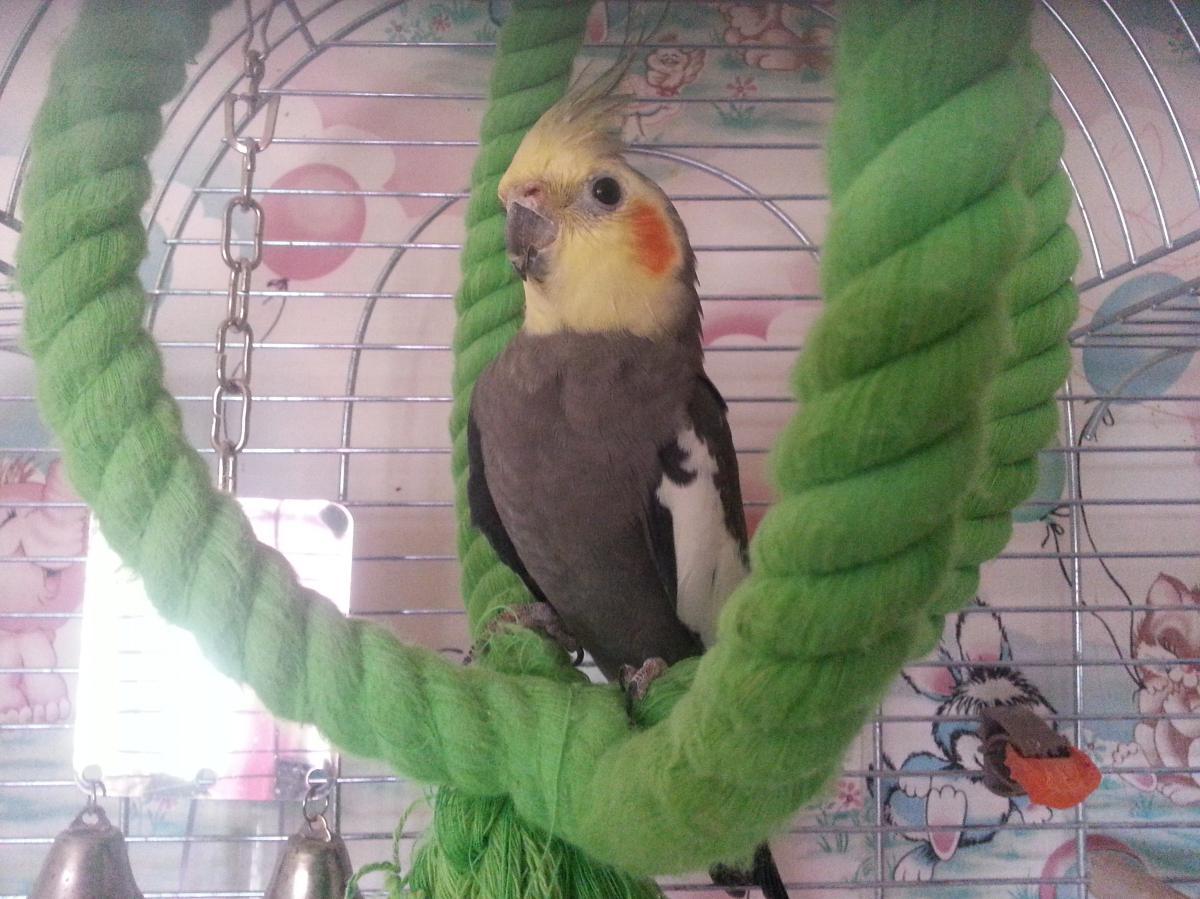 Попугай корелла - 20130718_173155.jpg