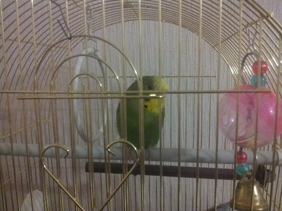 Обычная поза моего попугая - 20131203_192329.jpg