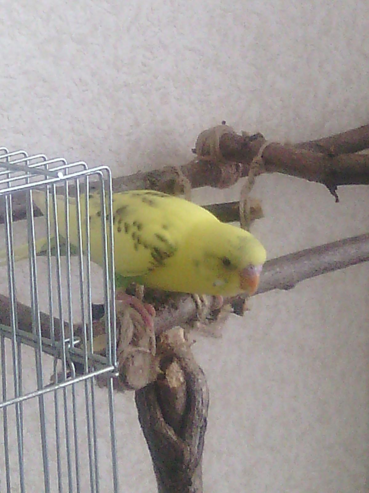 Волнистый попугай Кузя - IMG_20140112_111617.jpg