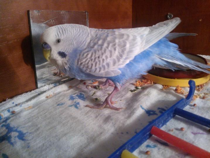 Попугай плохо стоит на лапах - WP_001531.jpg