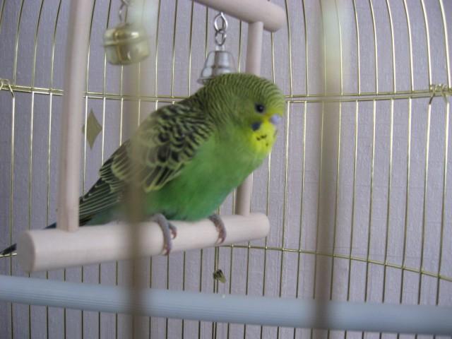 Определяем пол и возраст попугаев - 2 - IMG_5015.JPG