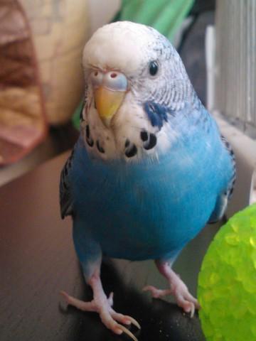 Определяем пол и возраст попугаев - 2 - WP_000144.jpg