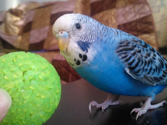 Определяем пол и возраст попугаев - 2 - WP_000151.jpg