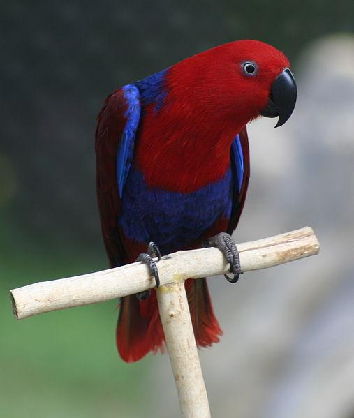 Самка Благородного попугая - Поп.jpg