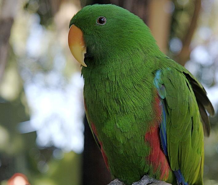 Самец Благородного попугая. - самец.jpg