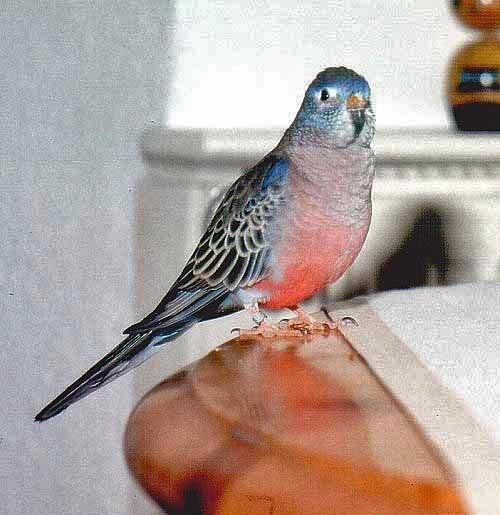 Розовобрюхий попугайчик - рп.jpg