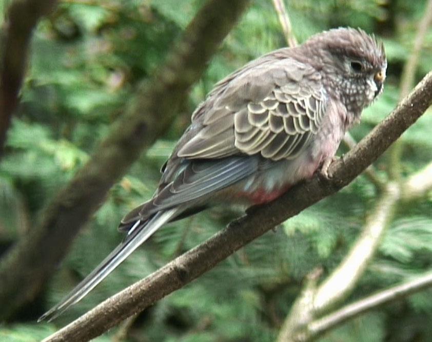 Parrots (Psittacidae) Bourkes Parrot (Neopsephotus bourkii) - tttt.jpg
