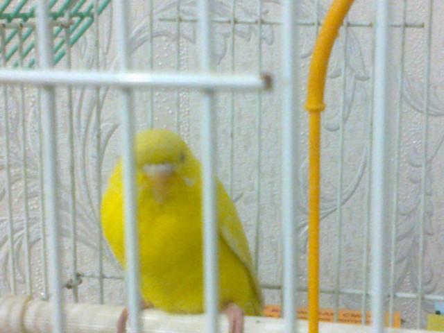 Волнистый попугай - 01022012028.jpg