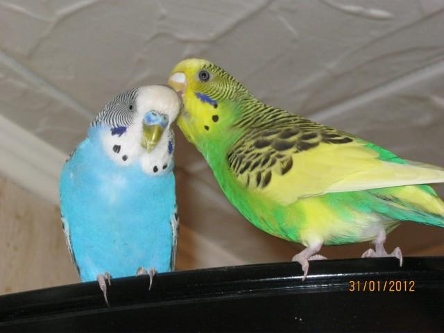 Наши волнистые попугаи - IMG_1143.jpg