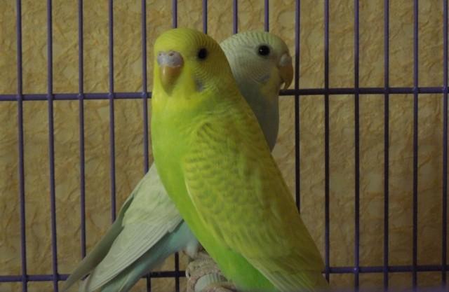 Помогите определить пол пары волнистых попугаев - Попугайчики.jpg