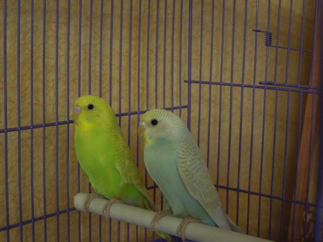 Определяем пол и возраст попугаев - 2 - Изображение 004.jpg
