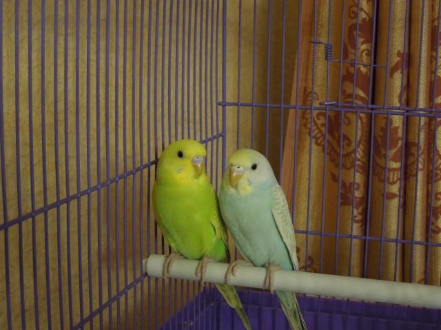 Определяем пол и возраст попугаев - 2 - Изображение 011.jpg