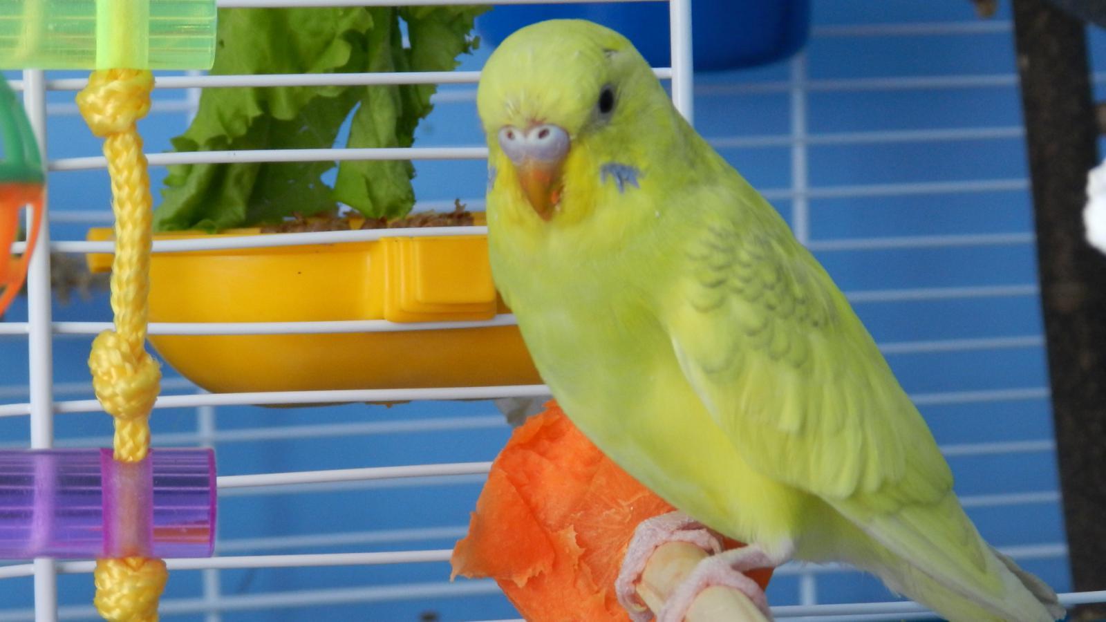 Волнистый попугай бесплатно