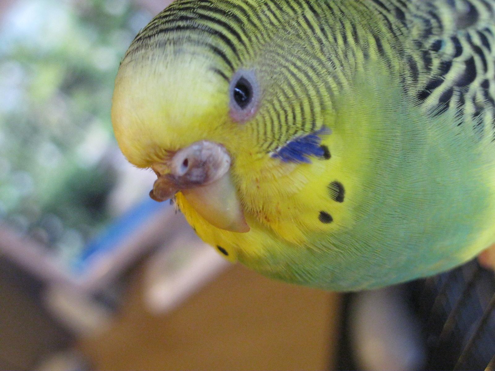 Гиперкератоз у попугая - IMG_0779[1].JPG