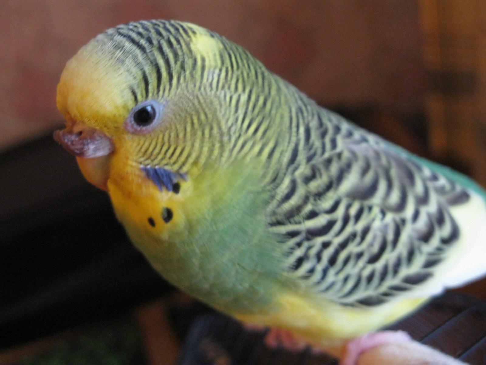 Гиперкератоз у попугая - IMG_0785[1].JPG