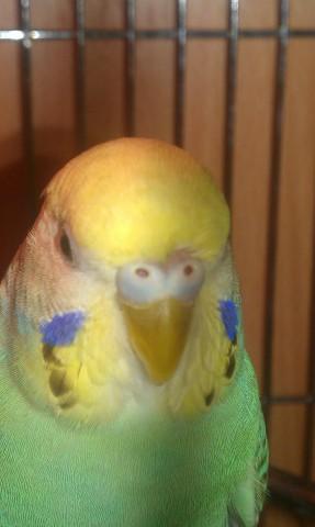 Волнистый попугай кашляет